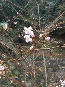 今ごろ桜が…
